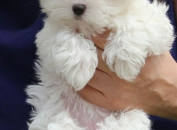 Regalo Mini Toy Cachorros Bichon Maltes para su adopcion libre,